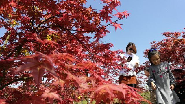 四川南充高坪这个地方红枫红如霞游人如云