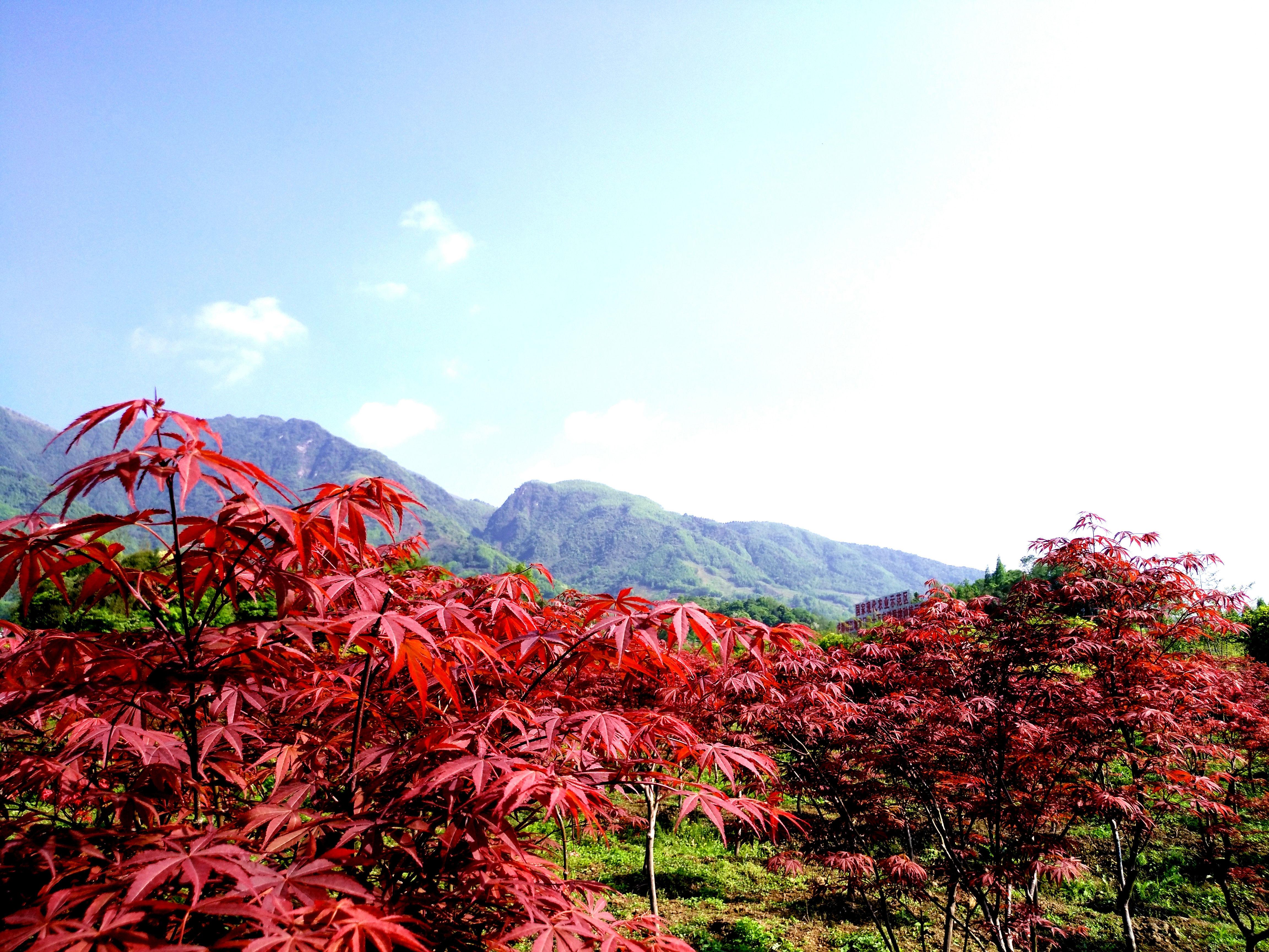 虽然目前还是春天,但都江堰这处山谷已似金秋的红色海洋!