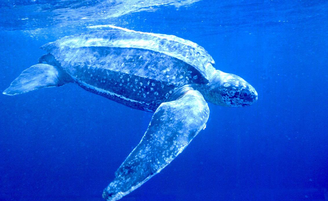 大的海洋爬行动物,体长3米,体重近1吨,在人类的努力下将于本世纪灭绝