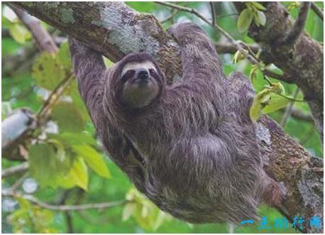 世界上最懒的动物,树懒懒得移动,身上长出了植物
