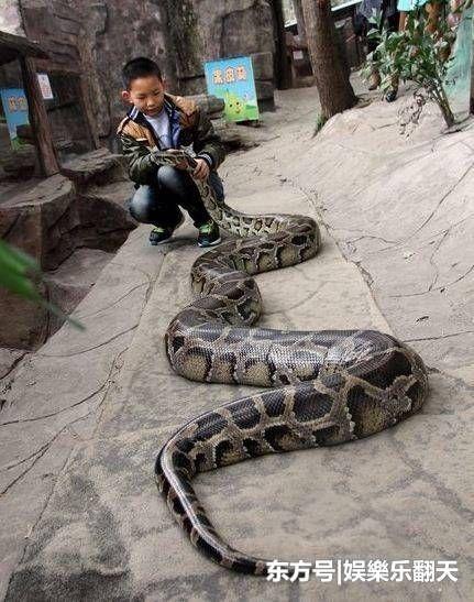 13岁男孩竟与300斤的大蟒蛇同居12年 同眠共枕!