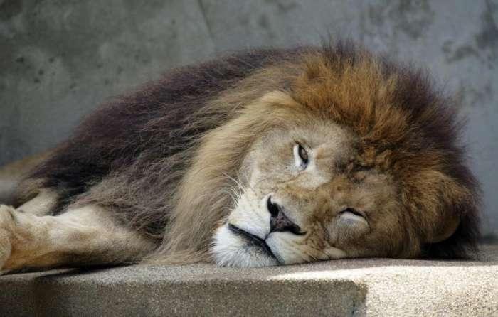 猫科动物的睡觉姿势出奇一致,网友:你们是商量好的吗?