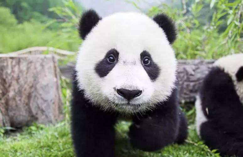 """小熊猫集体""""越狱""""失败,摔在地上被奶爸嘲笑,熊猫:我不"""