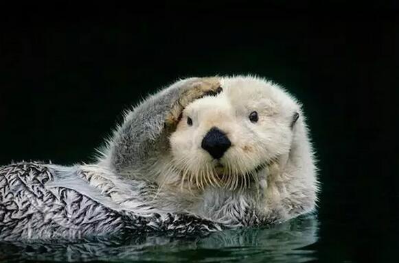 可爱的海獭随便一个表情都是标准的表情包!