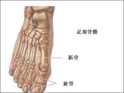 左脚足部骨骼结构图