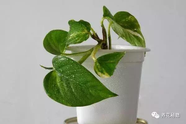 注意事项 大叶绿萝生长较快,粗放管理即可.