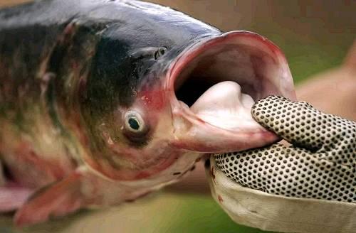 亚州爱性_美国人为什么不爱吃亚洲鲤鱼?