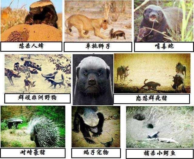 """蜜獾,世界上最无所畏惧的动物,座右铭:""""哥不是在打架就是在去打架的路"""