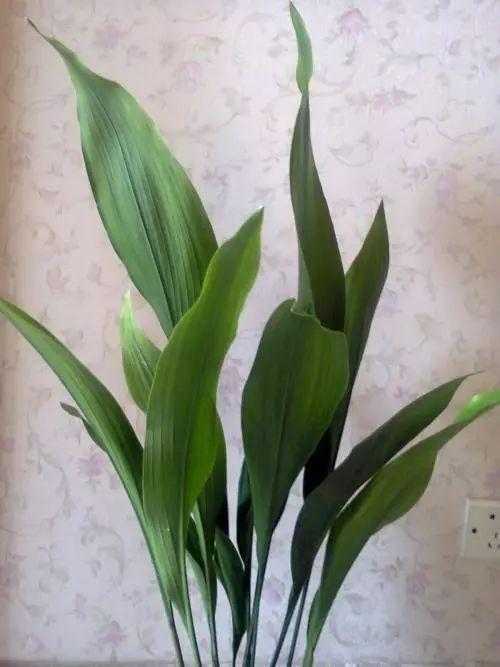 一叶兰也叫做大叶万年青,叶色浓绿光亮,长势强健,适应性强,极耐阴,是图片