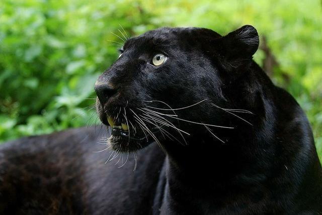 4对黑白神兽动物:有的是基因突变,有的仅仅存在于传说