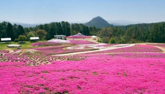 秦皇岛170亩神秘花海即将开放!绚烂至极,美到不可描述