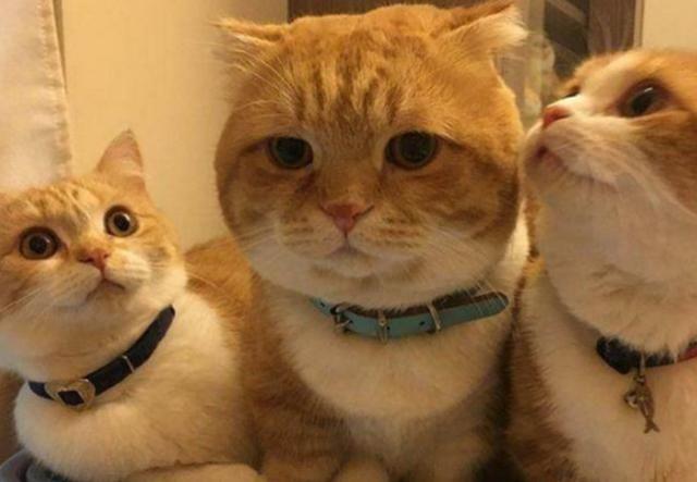 3只橘猫明明是同胎生,但其中一只却硬生生胖2倍