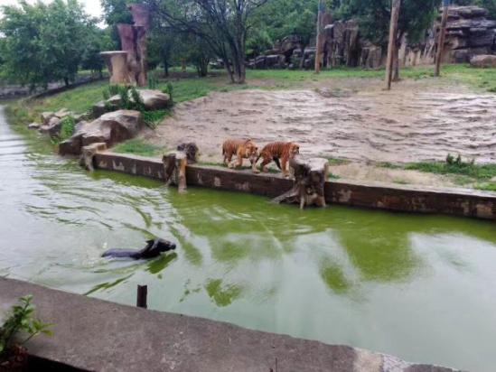 太残忍!常州一动物园竟将活驴扔进老虎池