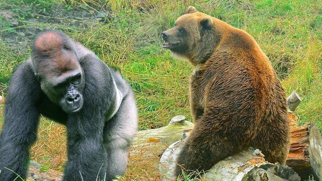 银背大猩猩能一拳锤翻老虎,如果对上棕熊又如何,有胜算吗?