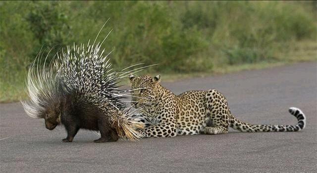 动物,它不会和敌人面对面,而是尽量背对着敌人,让满身的棘刺保护自己.