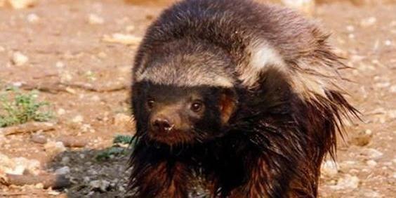 为什么蜜獾是世界上最无所畏惧的动物?看完后长知识了
