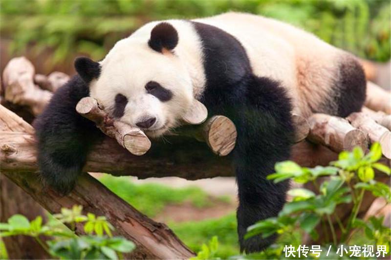 大熊猫一直是我国的一级国宝,在我国的地位那可是杠杠的,什么时候累了
