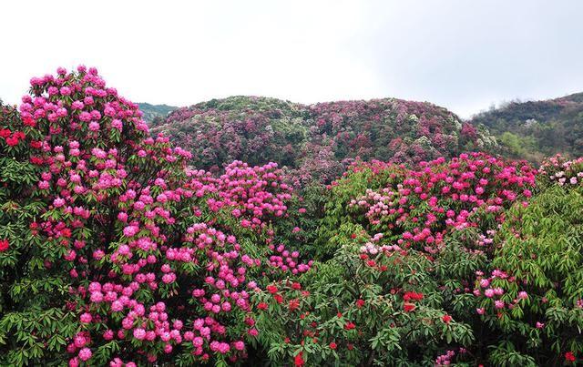 贵州毕节百里杜鹃花开了,你想要在春天邂逅世界最美的
