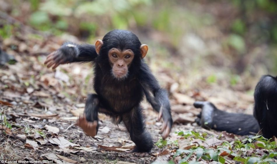 太原动物园黑猩猩家族再添新丁