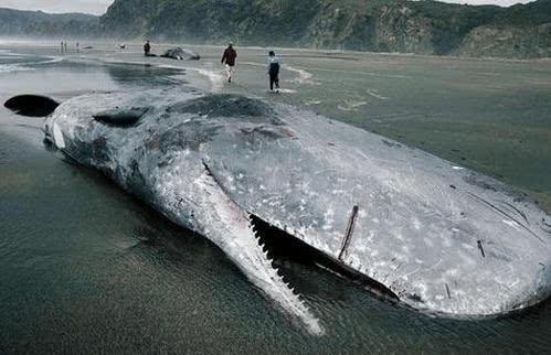 弓头鲸也被称为北极露脊鲸.乔治斯的新恐龙中文版图片