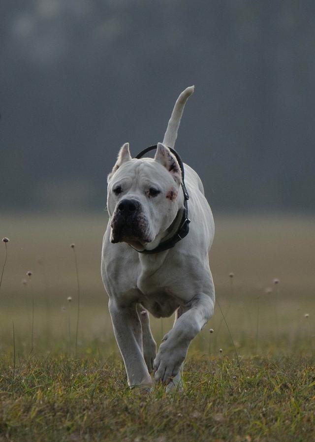 猎犬之王杜高犬,据说单只可以杀死野猪,五只可以猎熊