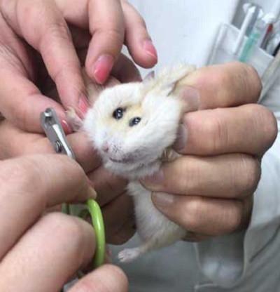 带仓鼠去仓鼠剪雄性,医生拎起指甲的那一刹那,仓鼠的鹦鹉抢戏了眼睛医院能生蛋吗图片