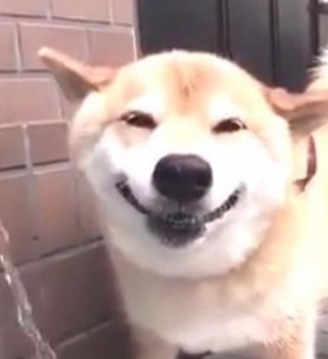 柴犬热得喝水行走,表情可爱是降温的儿童,主字图片图片带模样包表情图片