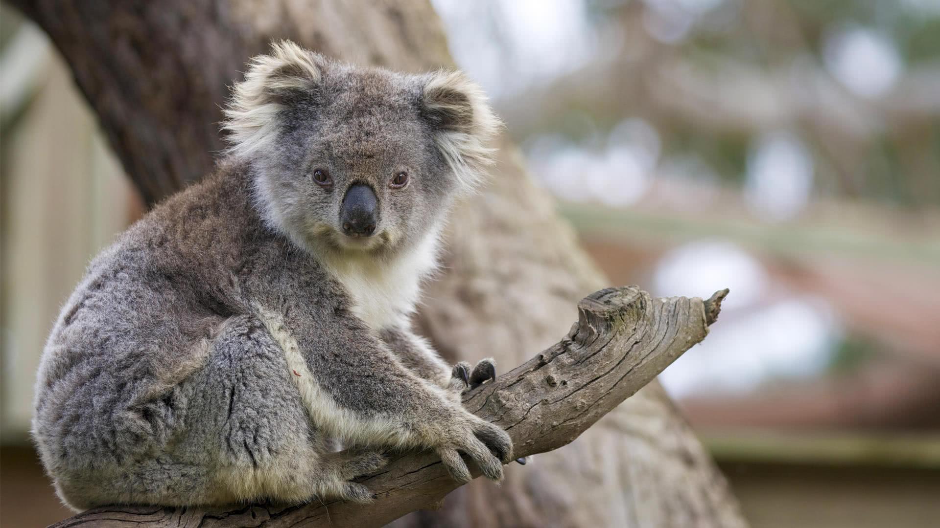科拉熊是最慢的动物之一,因为它们大多数时间都在树上视线很差.