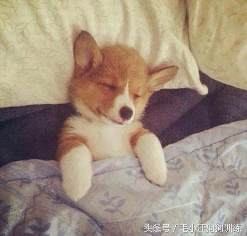 柯基小可爱看到主人还在睡觉的话,会躺在主人身边,一起进入梦乡~ 家
