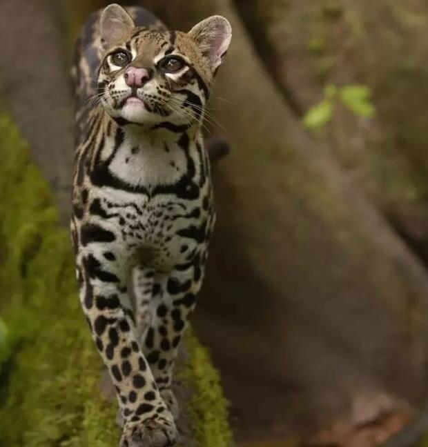 阆中发现国家二级保护动物豹猫!