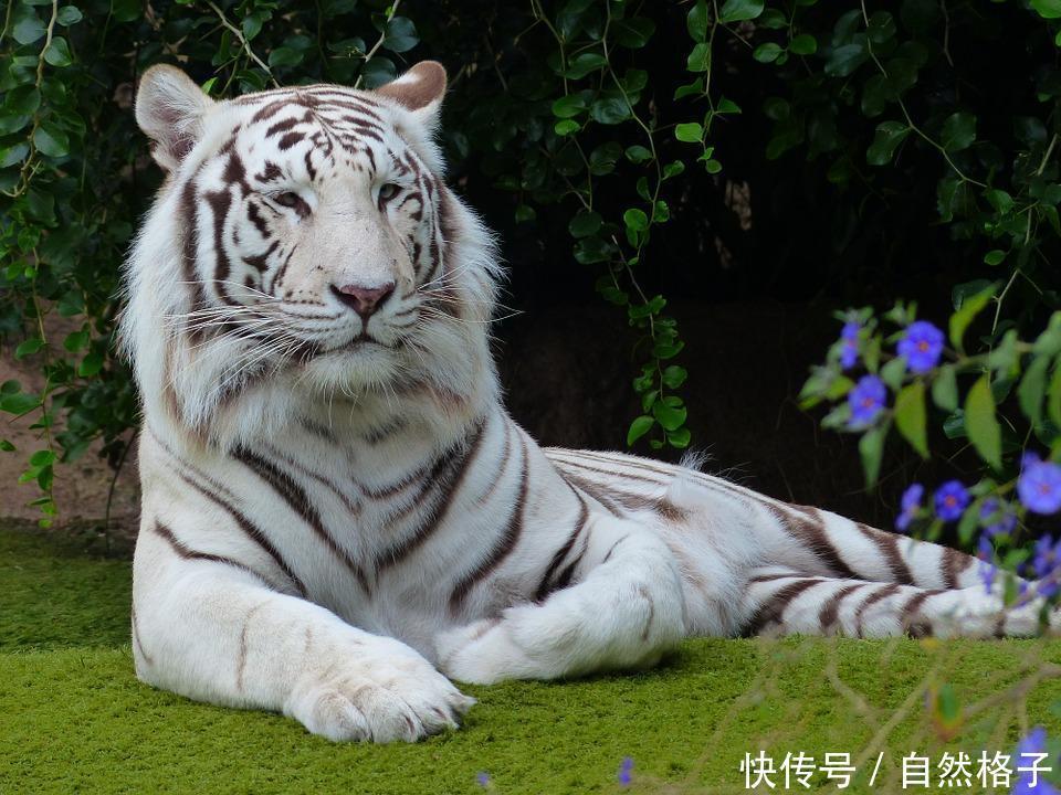7只罕见的变异猫科动物,你最喜欢哪一只?
