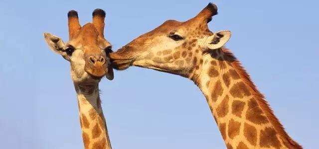 看到长颈鹿萌萌的笑脸~ 长长的睫毛~可爱的小犄角~ 除了可爱的动物们