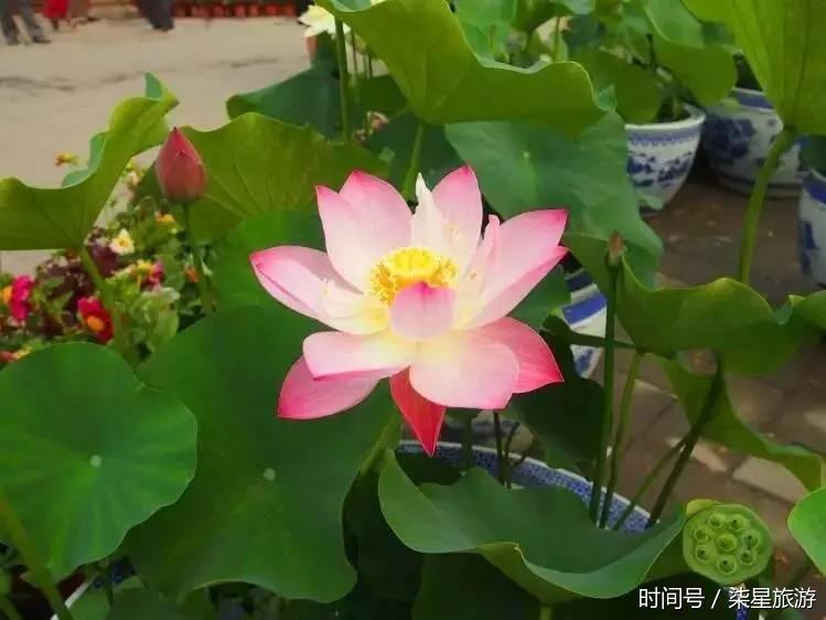 涵秋馆荷花展 涵秋馆位于北京圆明园遗址公园内,绮春园中心位置,敷春
