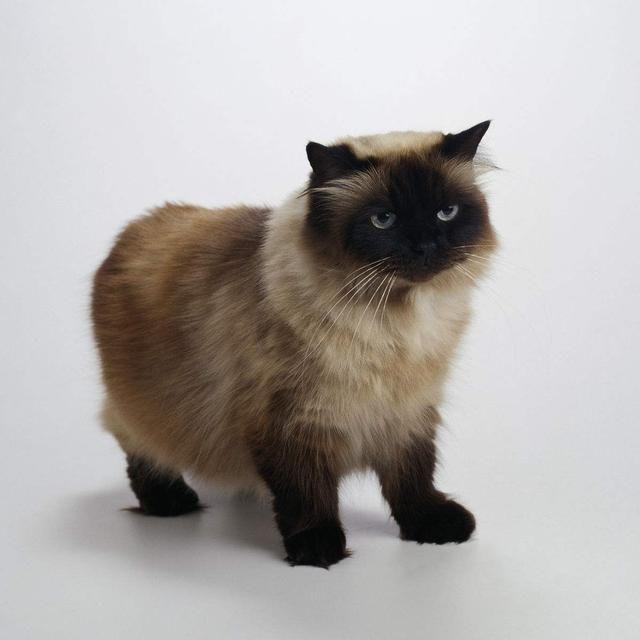 越前龙马的猫猫.小巧可爱,毛茸茸大眼睛,乖巧可爱又粘人.
