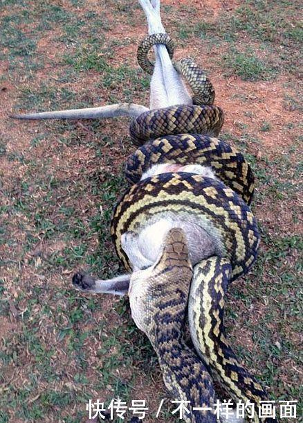 实拍:长4米的蟒蛇正吞食一头袋鼠,网友:蟒蛇这是不想活了吗