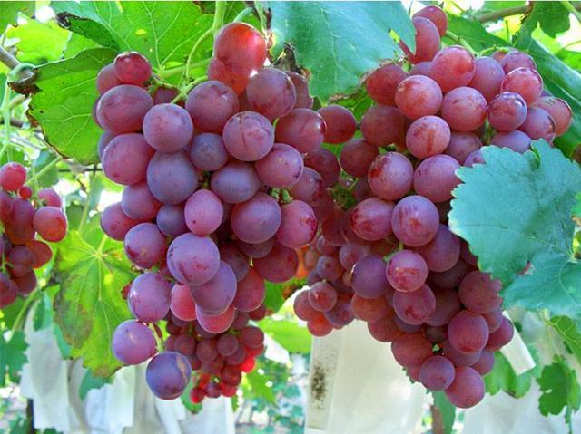 提子和葡萄的区别只是体现在价格上?看完你就知道了
