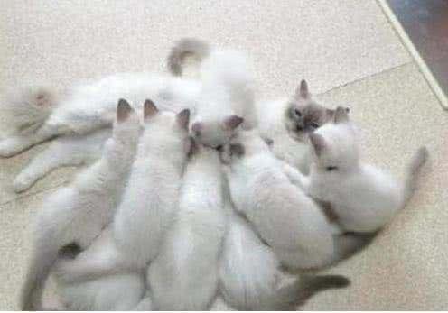一次看到16只小奶猫,每到产下时,喂奶猫妈的表在哪里8x动画包表情图片