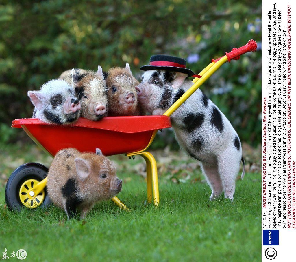 天然呆的迷你小猪,真是太可爱了
