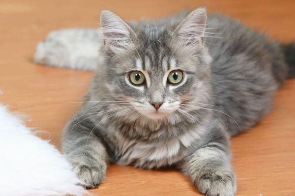 猫疥螨病会传染给人类!