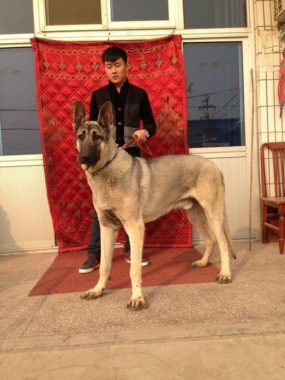 中华狼青犬_中华狼青 体型可直追大丹,肩高:60~90cm,体重50~70kg.