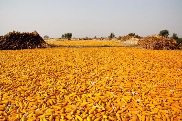 为什么贵州农村公路两旁已经没人种玉米了?看完明白其中原因图片