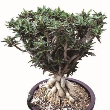 盆栽多肉植物叶麒麟繁殖及养护栽培技术