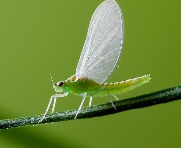 """""""消失""""的翅膀:透明或半透明翅膀 透翅蝶的翅膀上有许多透明的区域"""