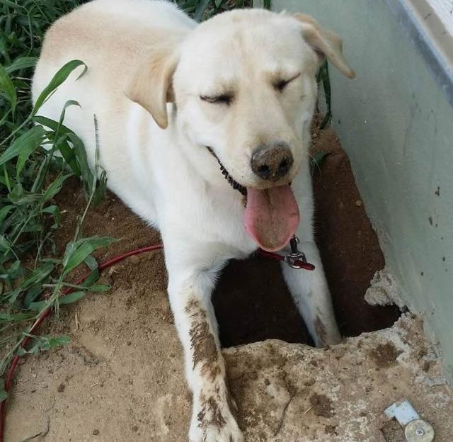 一位韩国的宠主就发现自家的拉布拉多很爱去后院挖洞,但某天看到它