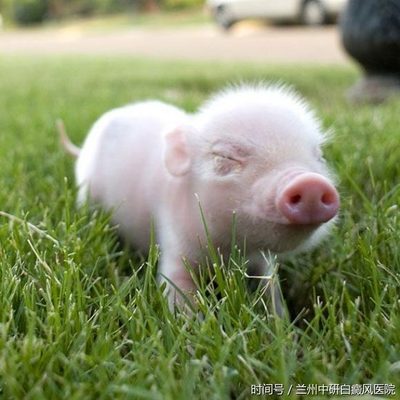 国外小哥买了一只迷你猪当宠物,现在长成这样,却收获百万粉丝