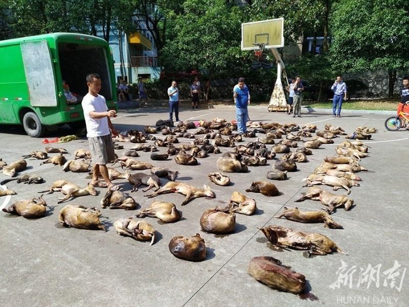 共查获麂子,猪獾,果子狸,毛冠鹿等114只陆生野生动物(三有保护动物).