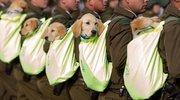智利举行盛大阅兵式庆祝独立日 警犬成抢镜王小奶狗超萌