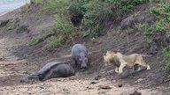 为保护死去的母亲不被狮子有机可趁,小河马长久蹲守母亲尸体旁