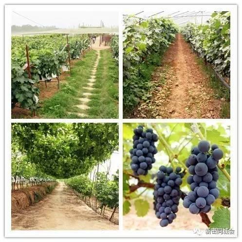 郑州周边最大的有机葡萄采摘园竟然在新密 品种多样,还有免费门
