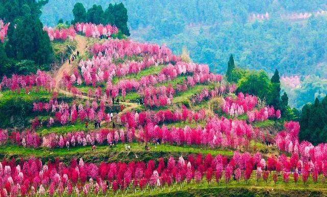 万株艳桃喜绽幽谷,成都周边又一赏花秘境,这周不去只有等明年!